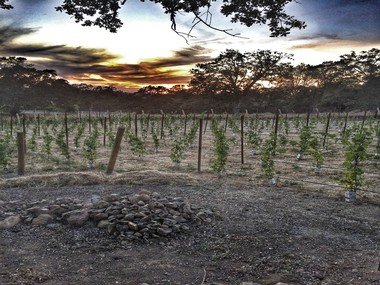Image of new vines at sunset