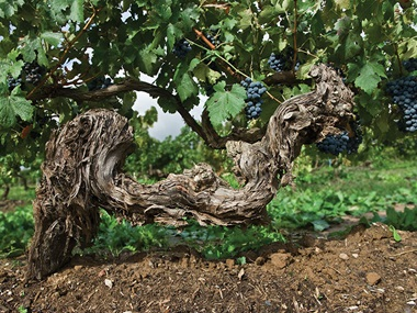 Image of gnarly vine with clusters of grapes